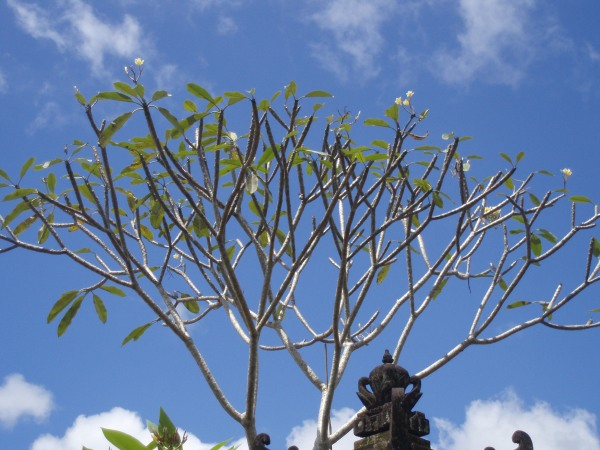 Frangipani tree shaking hands with the sky