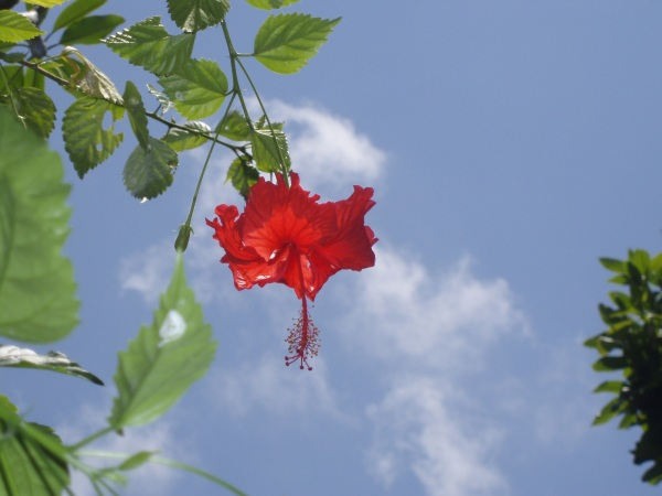 Hibiscus - this flower makes a great tea!