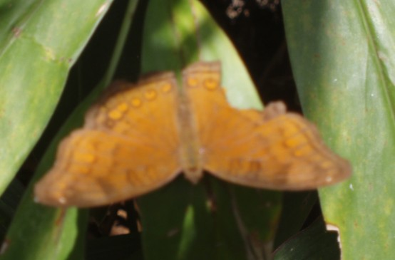Maybe this butterfly had a lucky escape from being eaten by a gecko