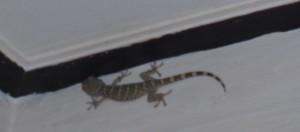 Gecko / Tokay