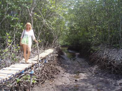 Board walk through the mangroves