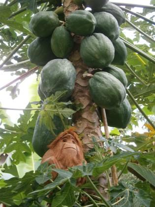 Hungry for papaya perhaps?