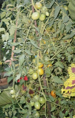 Tall tomato plant