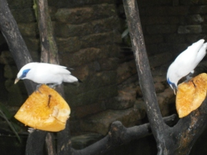 Endangered Bali Starlings