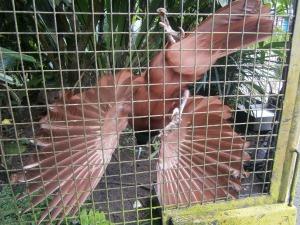 Candra wasih bird (Bird of Paradise)