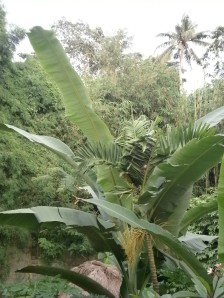 Long banana leaves