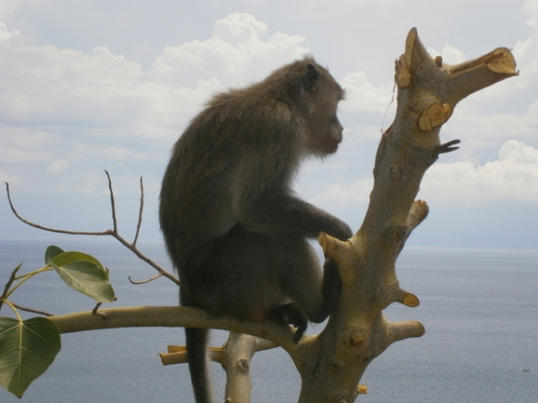 The look-out monkey