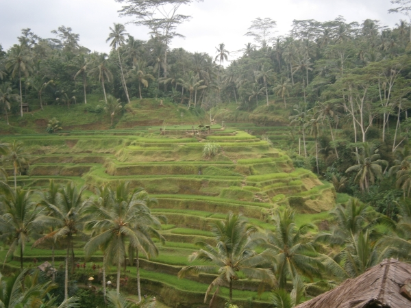Jungle tipped rice terraces
