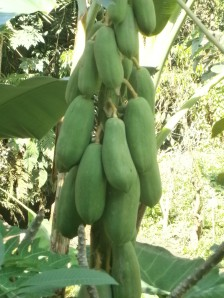 Fresh papaya anyone?
