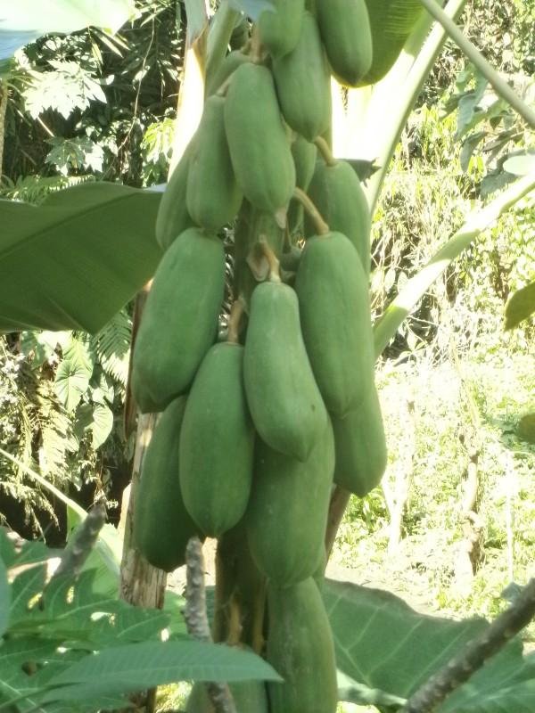 Fresh papaya anyone?