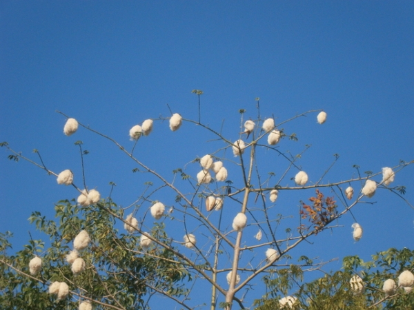 Fluffy white cotton