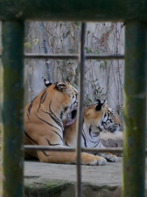 At home with Mr and Mrs Tiger