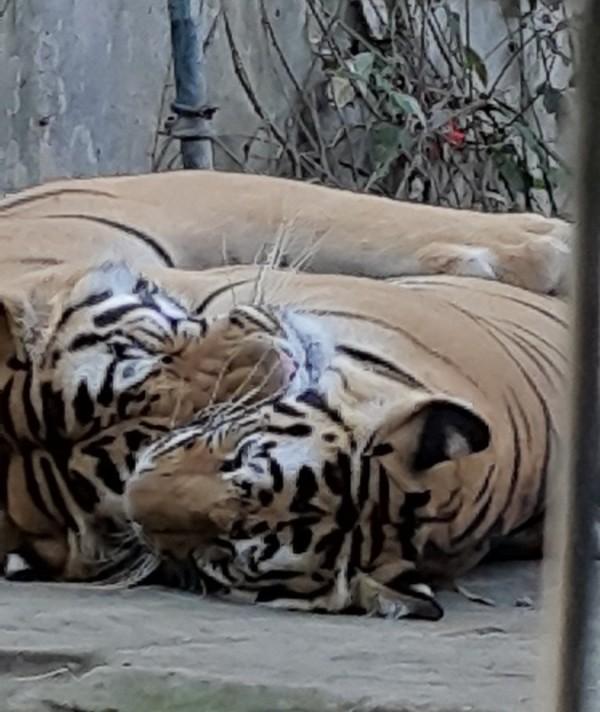 Snooze time at Bali Zoo